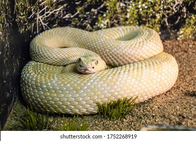 one yellow hissing snake lies on the ground. curled up. flakes.