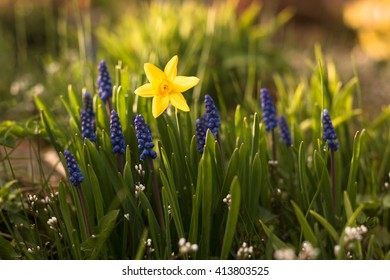 one yellow narcissus daffodil flower in group of blue blooming muscari  grape blossoms in springtime sunlit garden