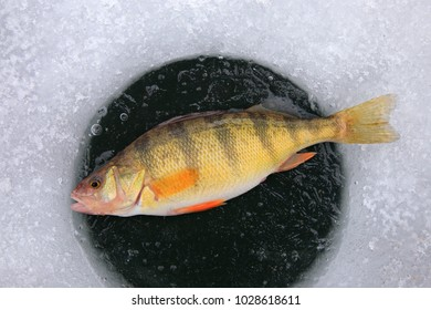 one yellow perch lying on ice hole