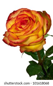 one yellow with red a rose on a white background