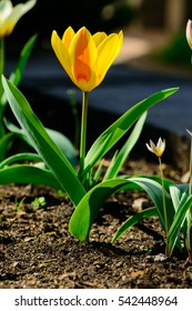 one yellow tulip blooms on the ground