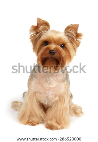 One Yorkshire Terrier After Haircut Grooming Stock Photo Edit Now
