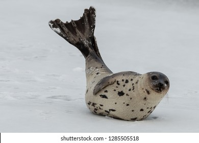 One young harp seal with its rear flippers up in the air drying. The seal is laying its side on the ice. The saddleback seal has dark eyes, whiskers and flippers. Its fur is light colored.