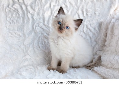 One young seal colourpoint ragdoll cat sitting on fur in chair