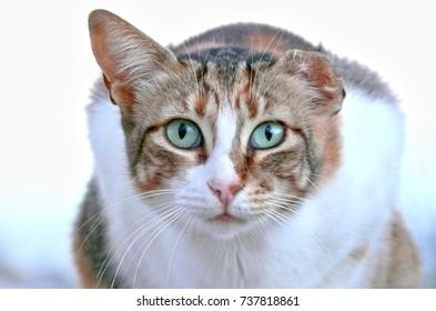 One-eared Tabby Cat in Albufeira, Portugal