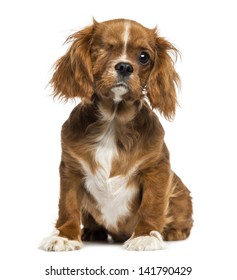 One-eyed Cavalier King Charles puppy sitting, 4 months old, isolated on white