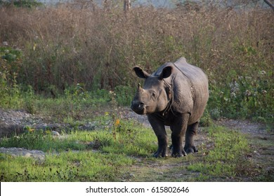A one-horned Rhino at an Indian National Park, Assam, India.
