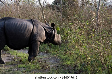 A one-horned Rhino inside Manas National Park of Assam, Northeast India.