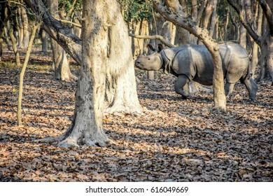 A one-horned Rhino inside Pobitora Wildlife Sanctuary of Assam, Northeast India.