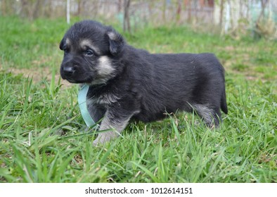 One-month-old puppy of the Eastern European Shepherd Dog