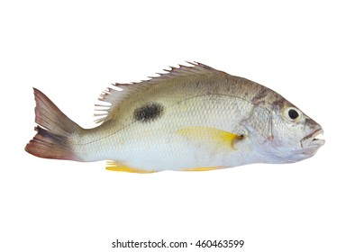 Onespot snapper fish isolated on white background, Lutjanus monostigma