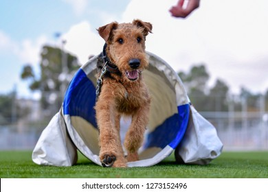 One-year-old Airedale Terrier trains in agility, overcoming various obstacles on the grass field