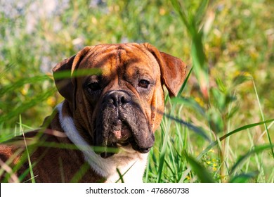 the one-year-old puppy of the german boxer lying on the grass cuttings in the autumn, sunny evening, attentive, very dirty snout in the sand, dog, doggy, pawl, doggie,