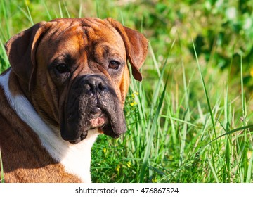 the one-year-old puppy of the german boxer lying on the grass cuttings in the autumn, sunny evening, attentive, dog, doggy, pawl, doggie, dogs