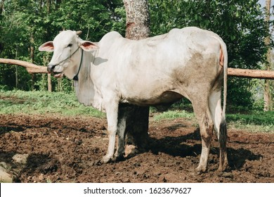 Ongole Crossbred cattle or Javanese Cow or White Cow or sapi peranakan ongole (PO) or Bos taurus in outdoor traditional farm, Indonesia. Traditional livestock breeding.