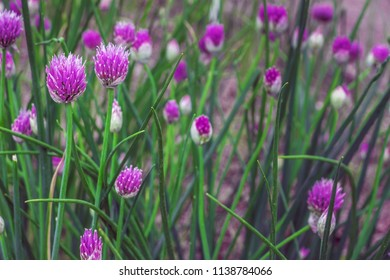 Onion (Allium) blooming. Field of Allium / ornamental onion. A lot of small balls of blossoming Allium flowers. Filled full frame picture. Beautiful picture with Alliums for the gardening theme.