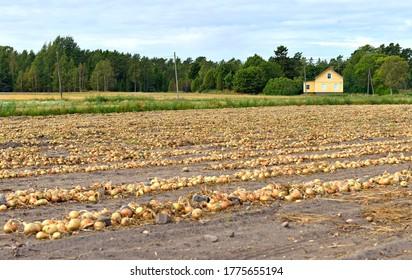 Onion (Allium cepa L.). Harvest in late summer. Aland Islands, Finland