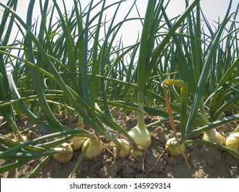 onion field with a blue sky as background