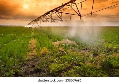 Onion field irrigated by a pivot sprinkler system