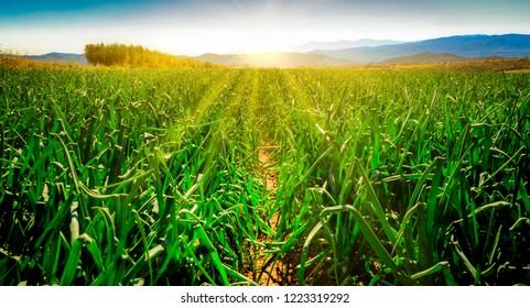 Onion field at sunrise