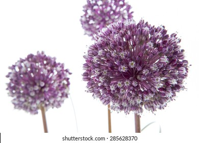 onion flowers isolated