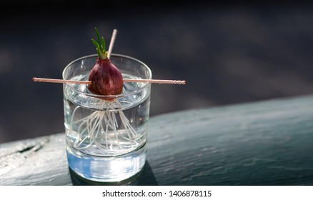 Onion growing in the water with nice new sprout on the clear glass outside on the balcony under the evening light at Norway in the spring time.