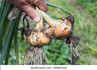 Onion harvesting in the root garden.