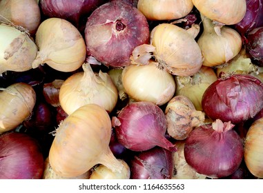 Onion - perennial herbaceous vegetable crop