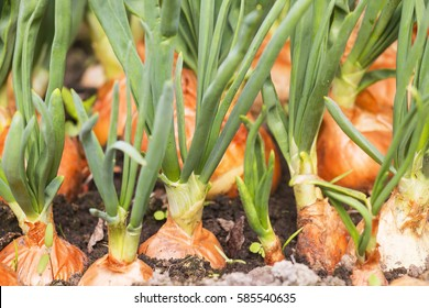onion plantation in the vegetable garden agriculture