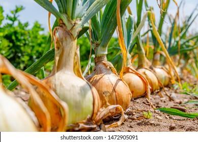 Zwiebelpflanzen wachsen auf dem Feld, Nahaufnahme.  Gartenhintergrund mit Zwiebel, Nahaufnahme.