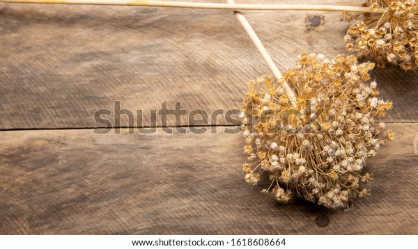 Onion seed heads  sprouts on a rustic wood plank background