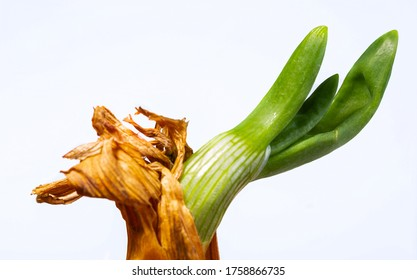 Onion and young chives. Fresh vegetables. Organic farming. Ingredient of vegetarian dishes. Onion on a white background.