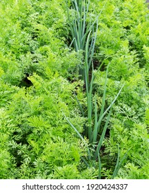 Onions and carrot plants growing in a home vegetable garden. Vegetable green bed.