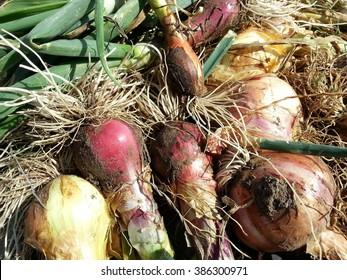 Onions fresh from harvest on an organic farm in Texas.