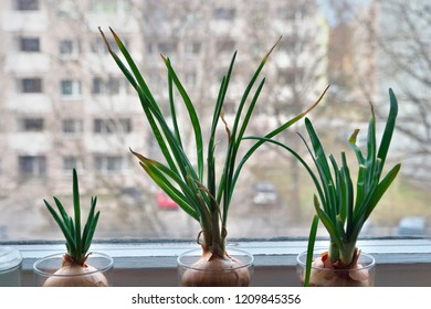 Onions with green shoots growing on windowsill at home.