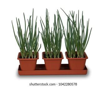 onions growing indoors in 3 pots