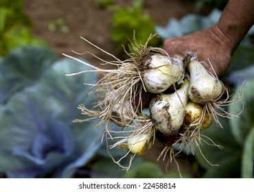 Onions grown in a garden are recently picked.