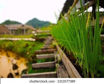 Onions and mints are planted to decorate the old wooden bridge which is used across the lotus pond. Selective focus and copy space.