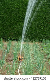 onions in a vegetable patch