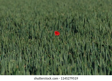 Only one poppy flower blooming in a weat field, France.