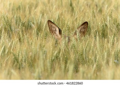 Only the tips of this deer's ears can be seen in the wheat field.