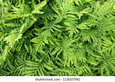 onoclea sensibilis, sensitive fern