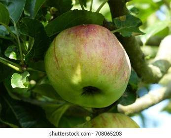 The Ontario apple (short: Ontario) is an old blackboard apple cultivar (Malus domestica), one of the winter apples, which was bred in 1874 in the north east of the USA.