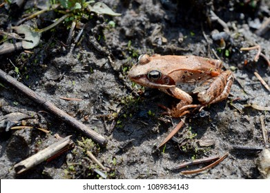 An Ontario native wood frog, Lithobates sylvaticus, found near the waters edge of a large marshland.