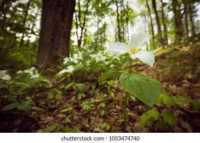 Ontario's provincial flower. The white Trillium.