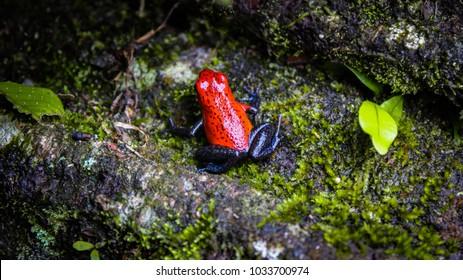 Oophaga pumilio on a log in a rainforest