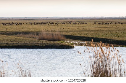 Oostvaardersplassen with densely populated red deer livestock on nature conservation grassland area