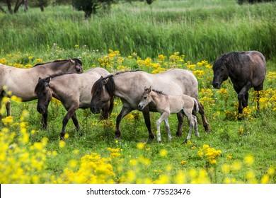 Oostvaardersplassen Konik horses