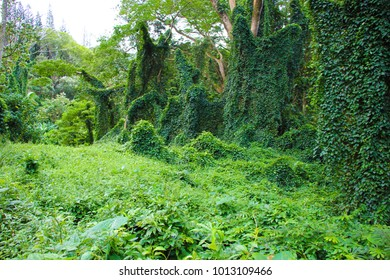 ootpath through lush green tropical vegetation and palm trees with creepers on the Manoa Falls Trail in Oahu, Hawaii