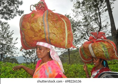 Ooty, India - Sept 29: Women tea workers in Ooty, India on Sept 29, 2013. Women tea workers carrying dry tea leaves in a sack to the tea manufacturing factory.